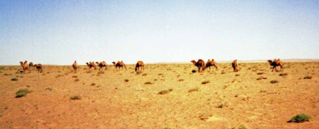 Wild Bactrian camels still roam the desert - I don't know if these are them